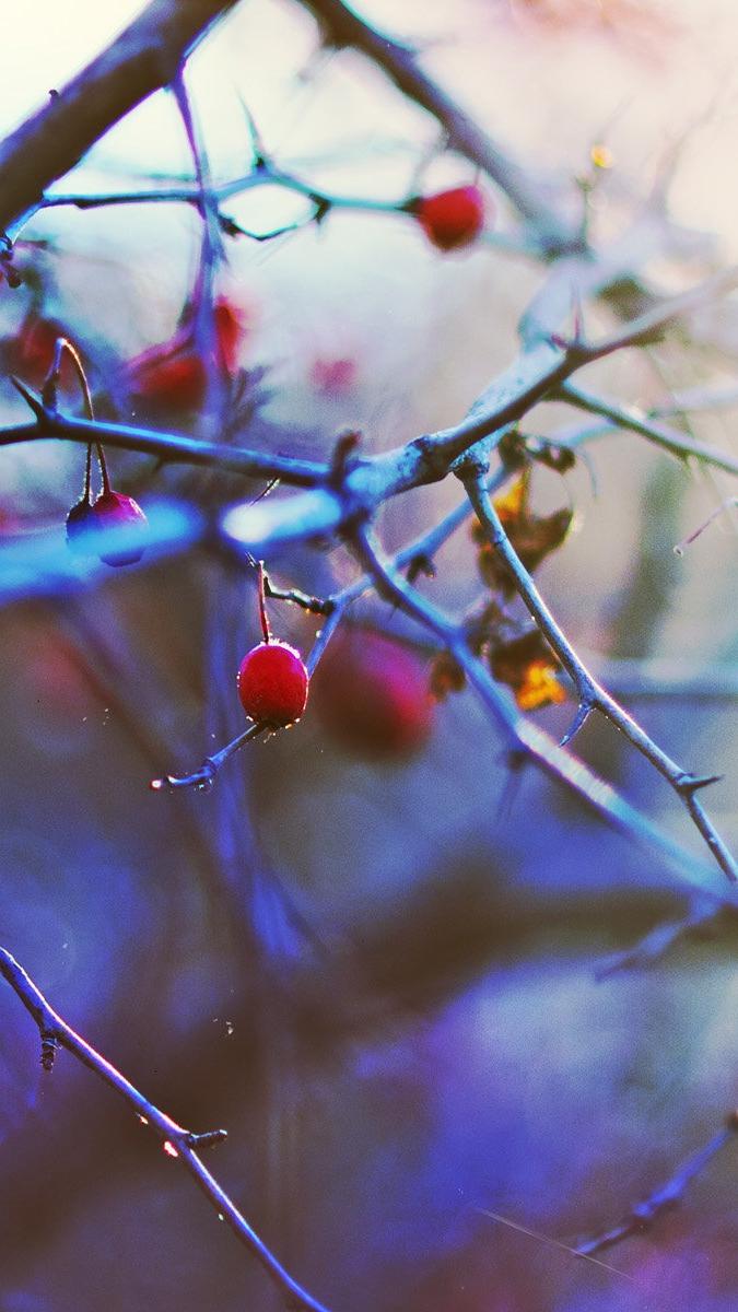 Cherry Tree iPhone Wallpaper iphoneswallpapers com