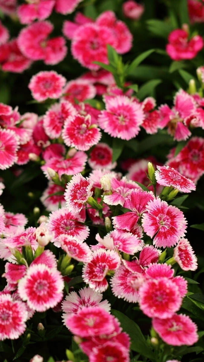 Chinese Carnation clove iPhone Wallpaper iphoneswallpapers com