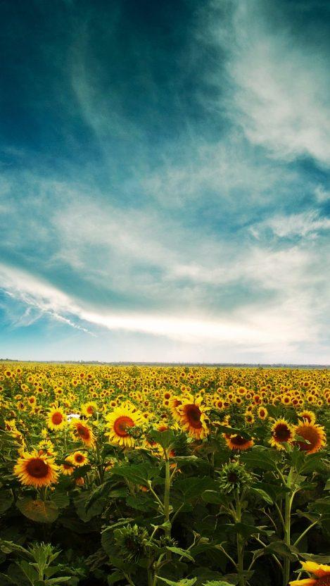 Sunflowers Land iPhone Wallpaper iphoneswallpapers com