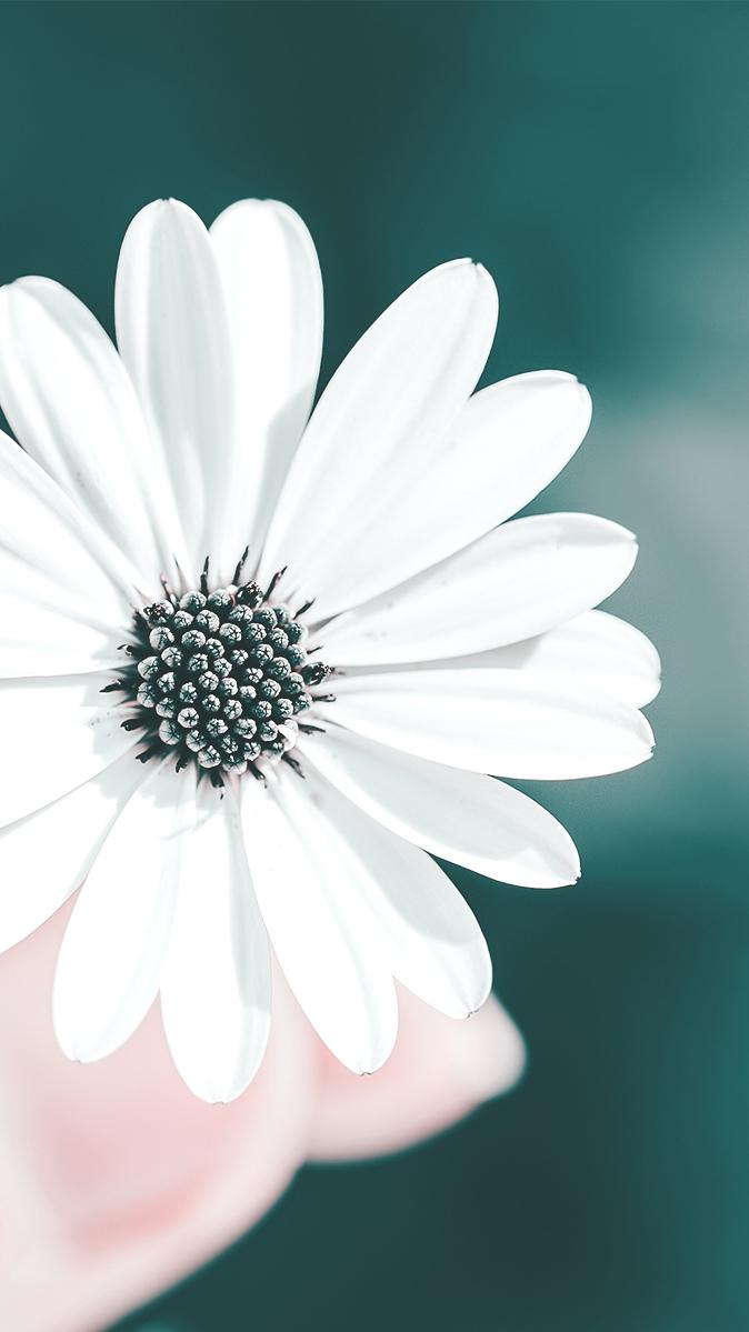 White Flower in Hands iPhone Wallpaper iphoneswallpapers com