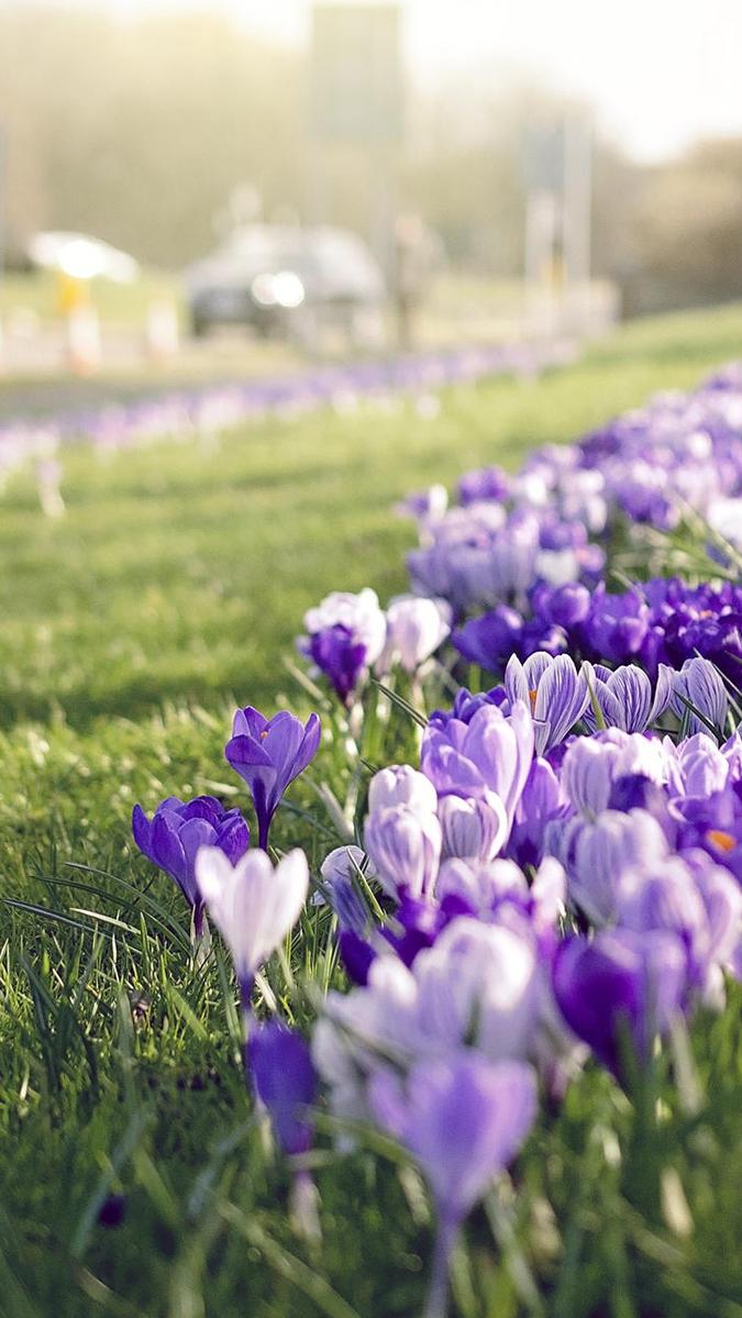 Saffron Flowers Grass Focus iPhone Wallpaper iphoneswallpapers com