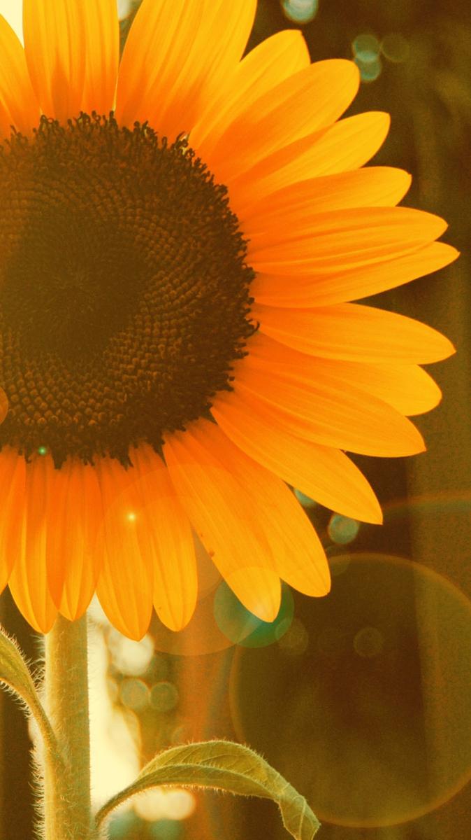 Sunflower-near-Window-iPhone-Wallpaper