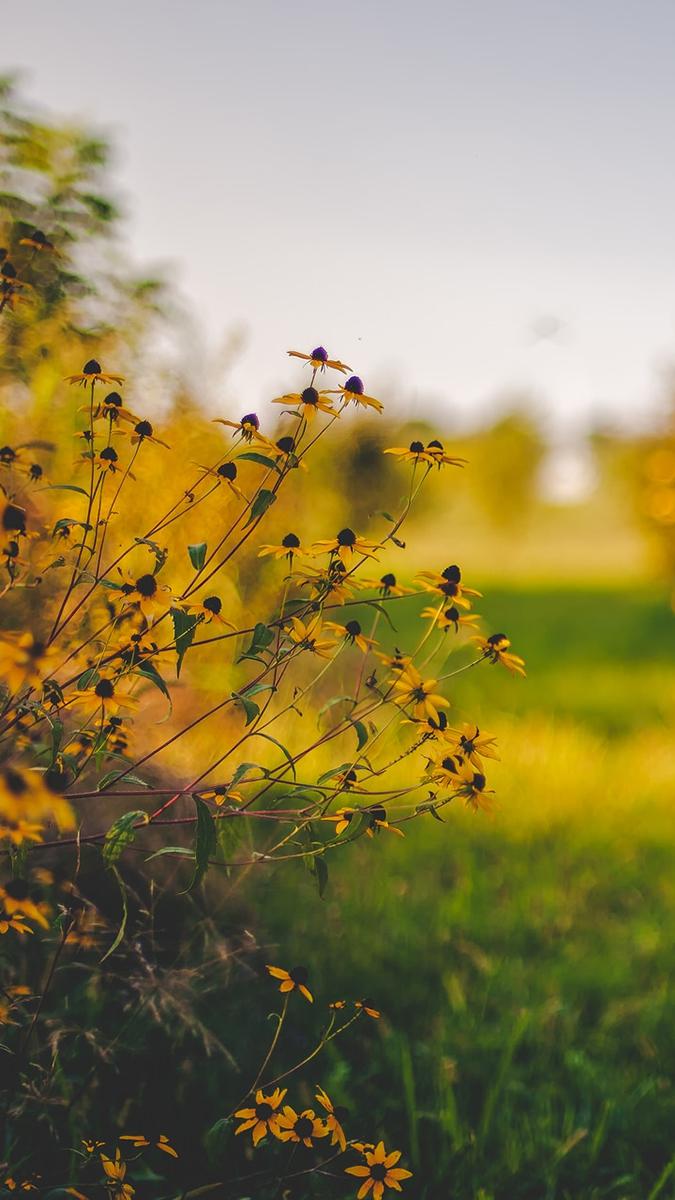 Sunflowers Plants iPhone Wallpaper iphoneswallpapers com