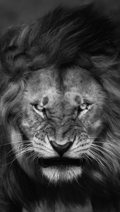 Lion Roar Black And White