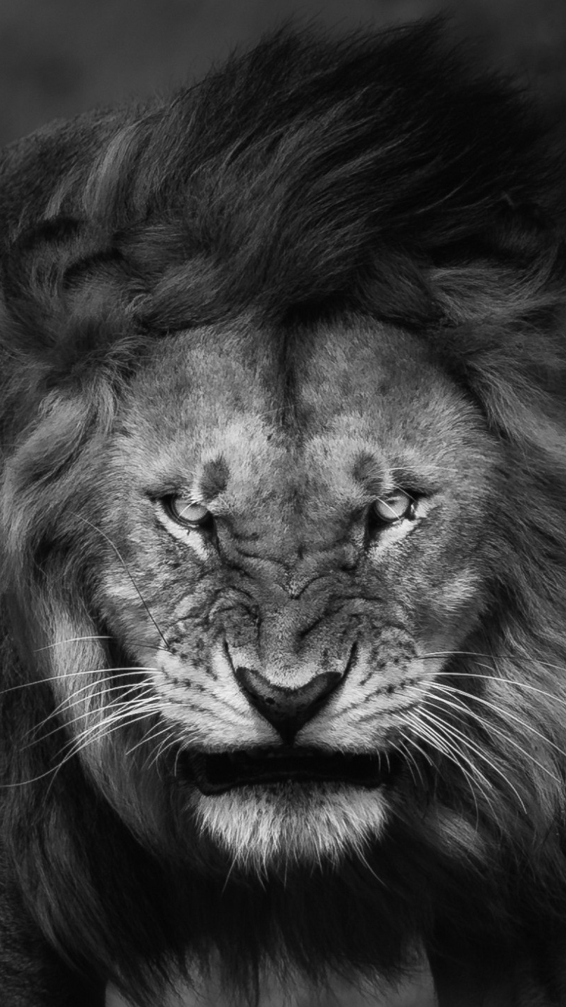 angrylionfacewallpaperiphonewallpaper iphone wallpapers