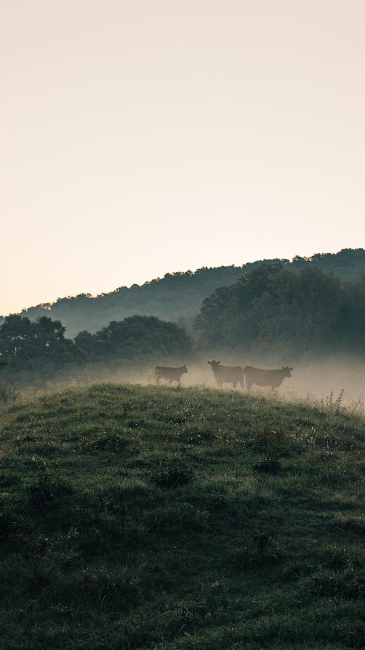 Cows Nature iPhone Wallpaper iphoneswallpapers com