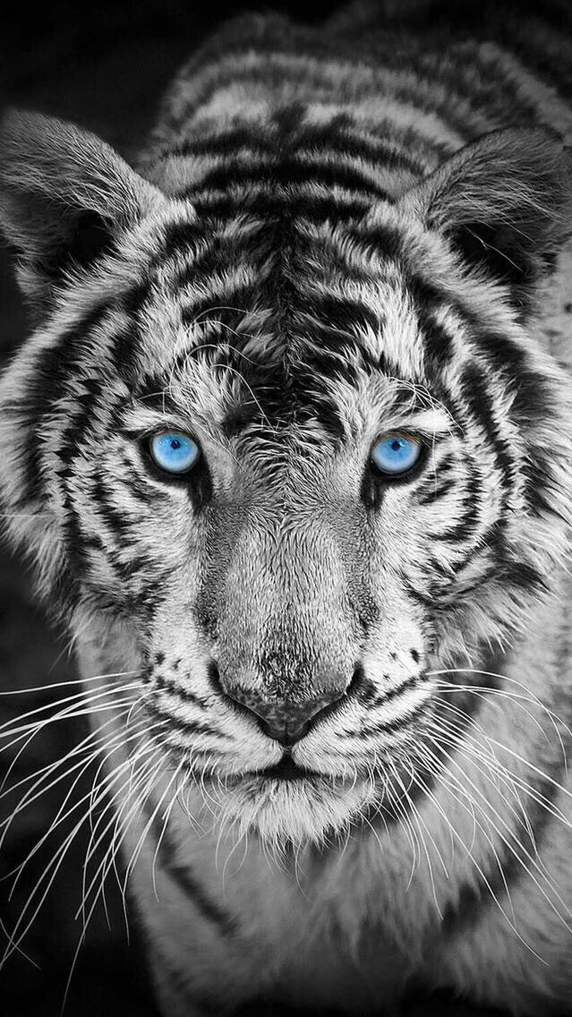 White Tiger iPhone Wallpaper iphoneswallpapers com