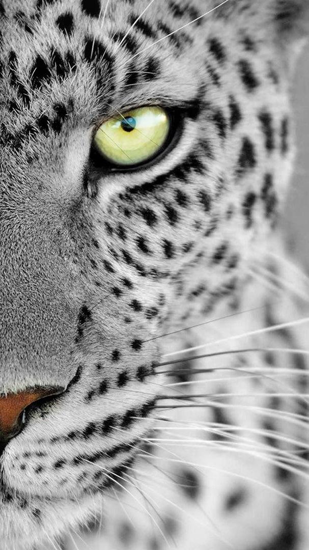 Leopard Eyes iPhone Wallpaper iphoneswallpapers com
