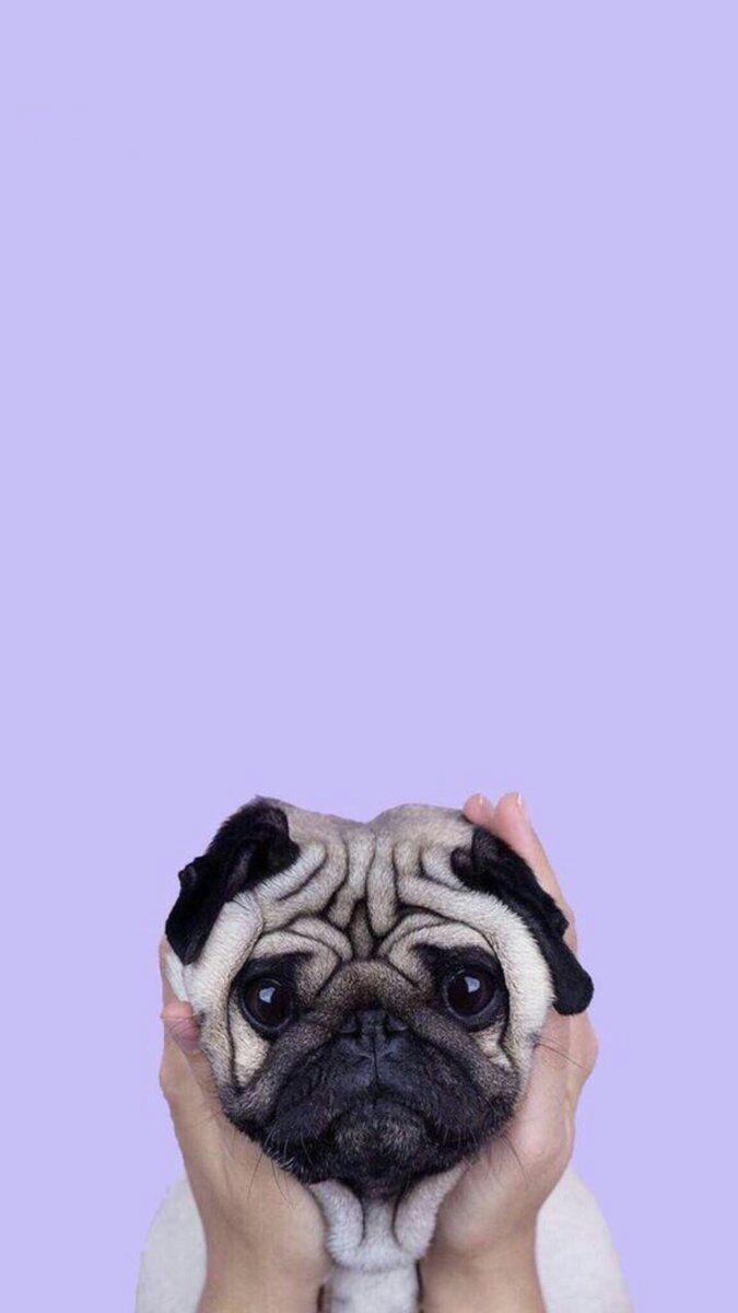Cute Puppy Pug iPhone Wallpaper iphoneswallpapers com
