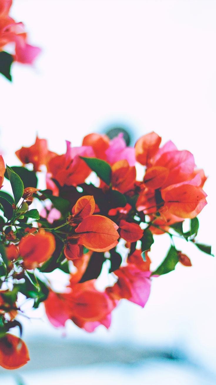 Red Flowers iPhone Wallpaper iphoneswallpapers com