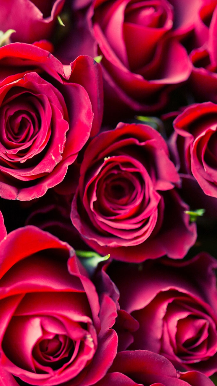 Red Roses iPhone Wallpaper iphoneswallpapers com