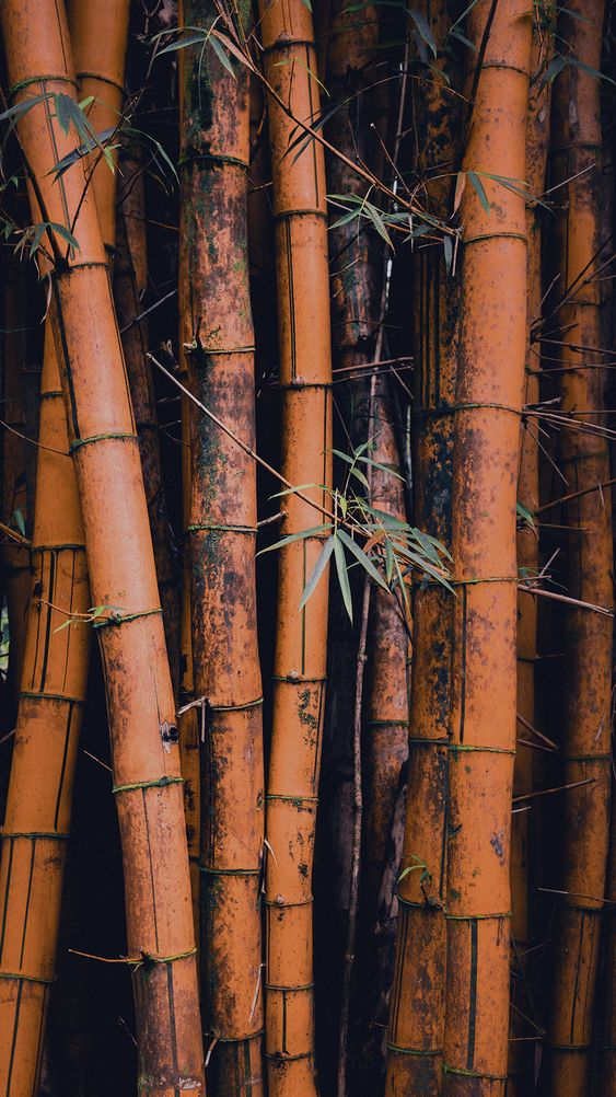 Bamboo Trees iPhone Wallpaper