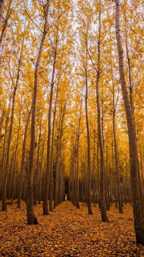 Autumn Forest Trees iPhone Wallpaper
