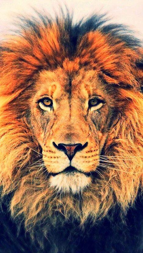 Lion Face HD iPhone Wallpaper