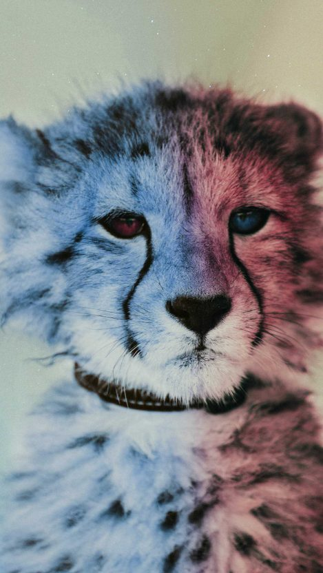 Baby Cheetah iPhone Wallpaper