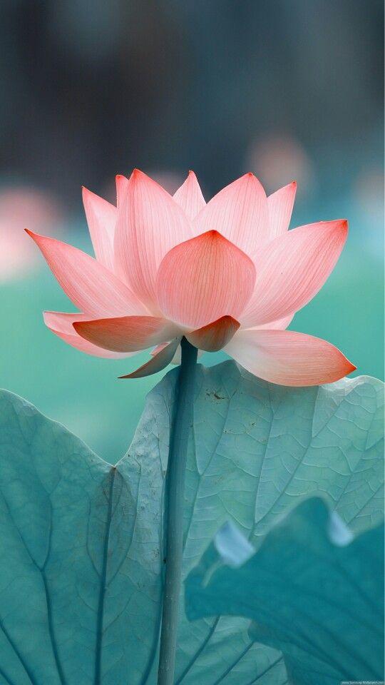 Blooming Flower iPhone Wallpaper