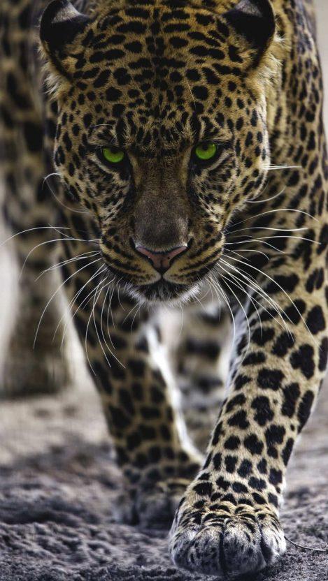 Jaguar iPhone Wallpaper