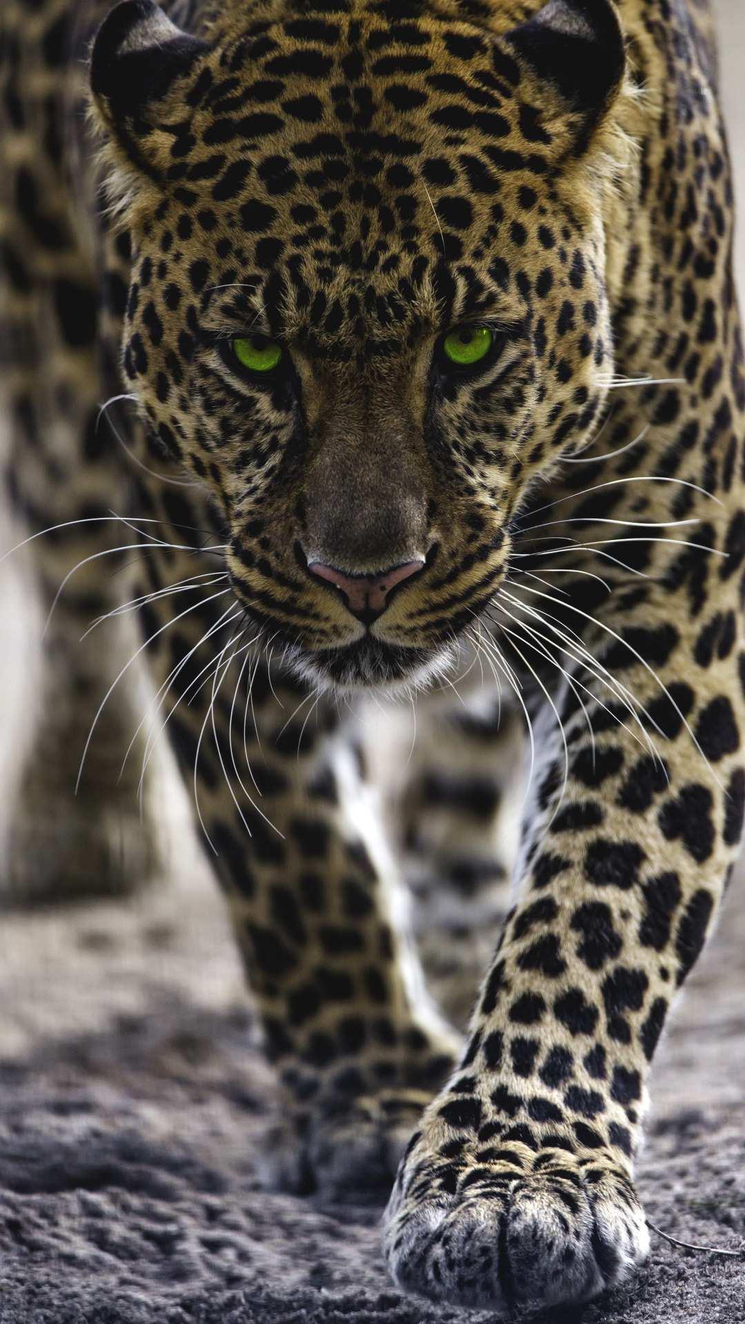Jaguar Iphone Wallpaper Iphone Wallpapers