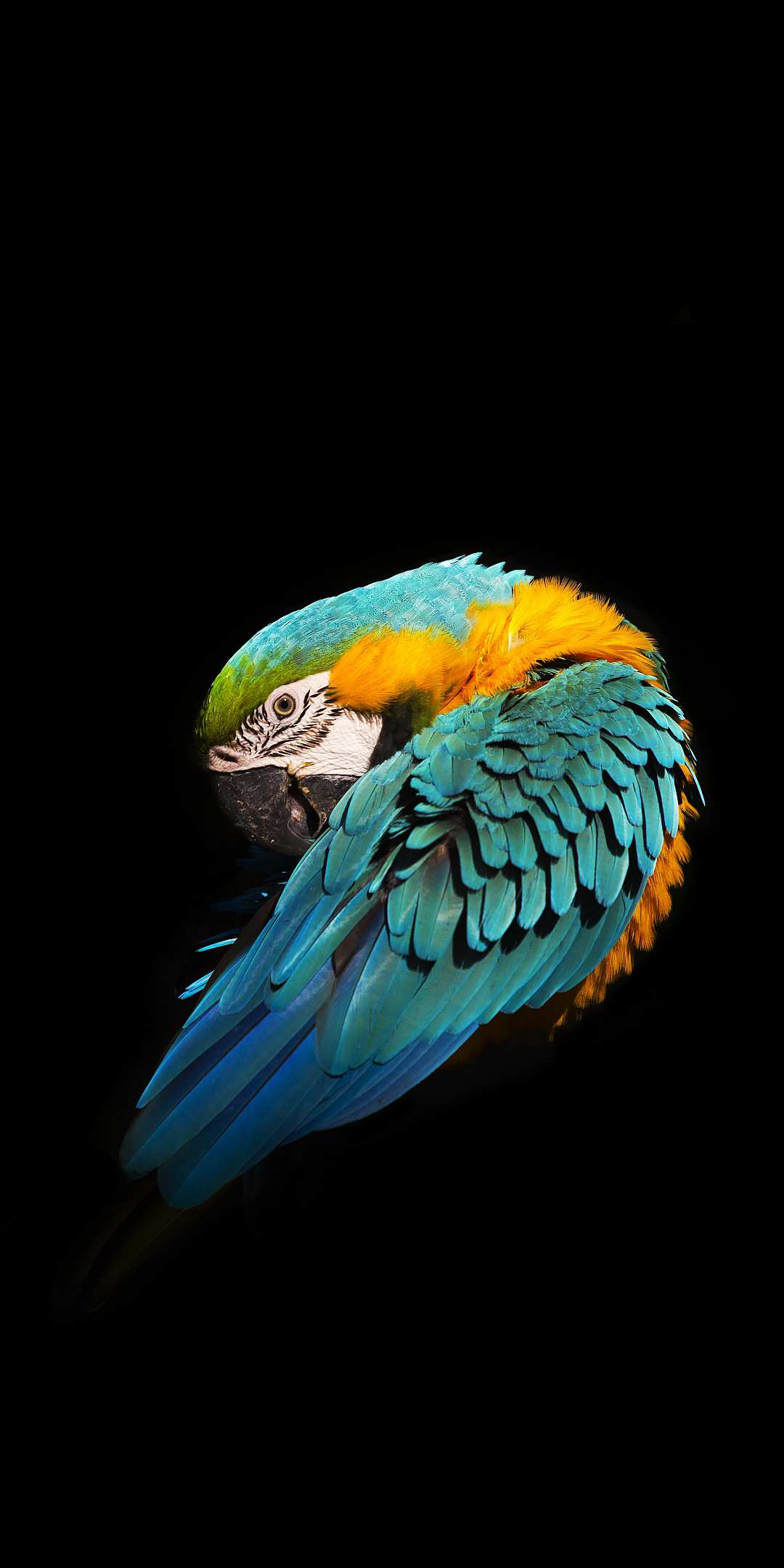 Minimal Blue and yellow macaw iPhone Wallpaper