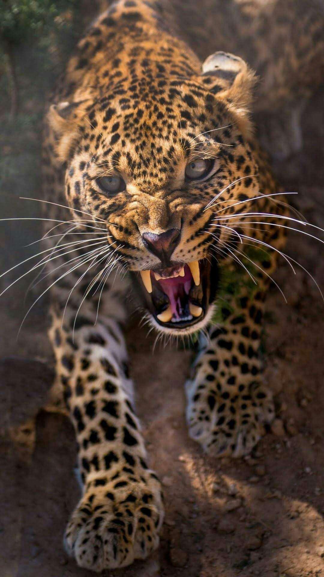 Tiger iPhone Wallpaper
