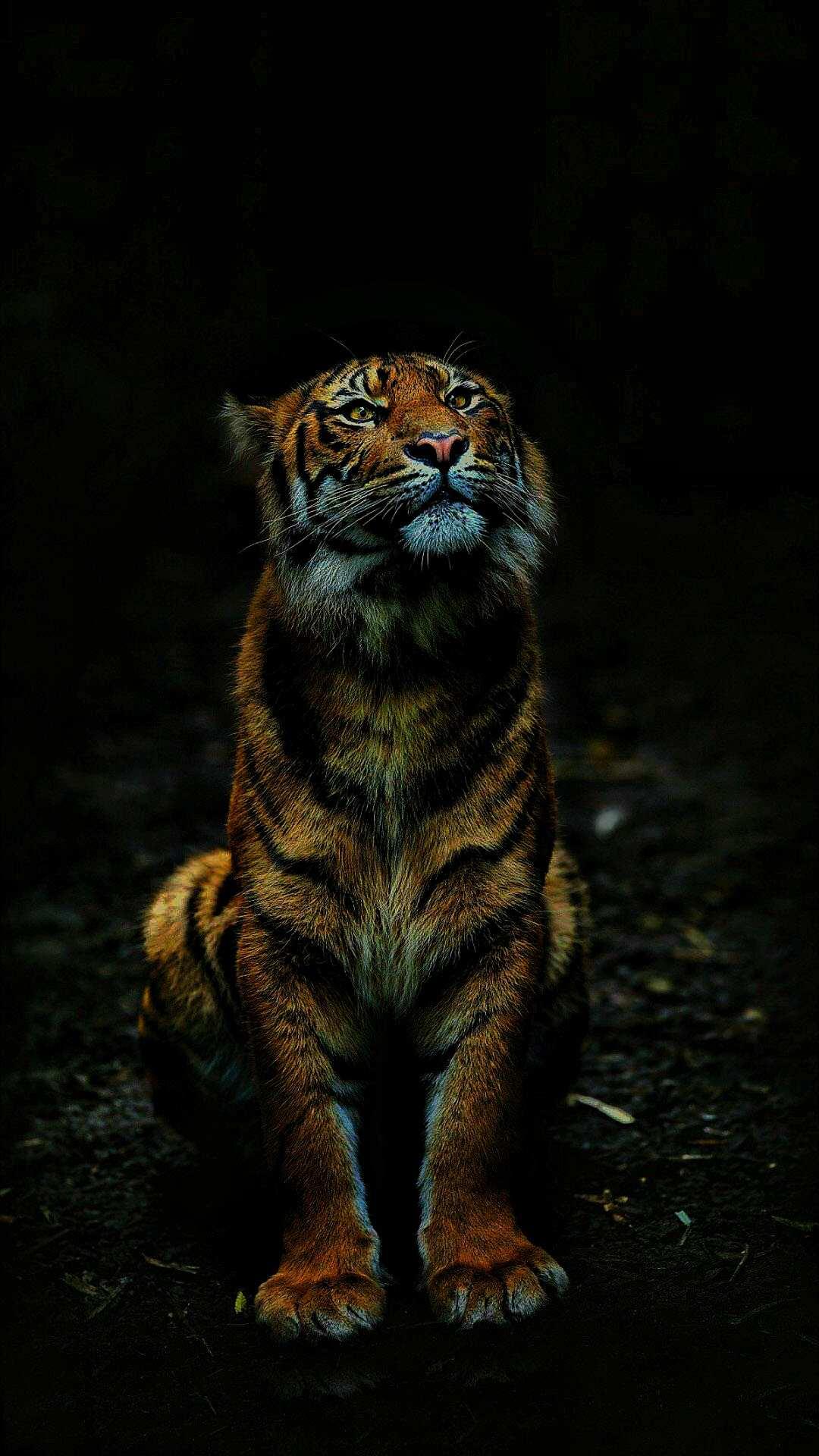 Tiger in Dark iPhone Wallpaper