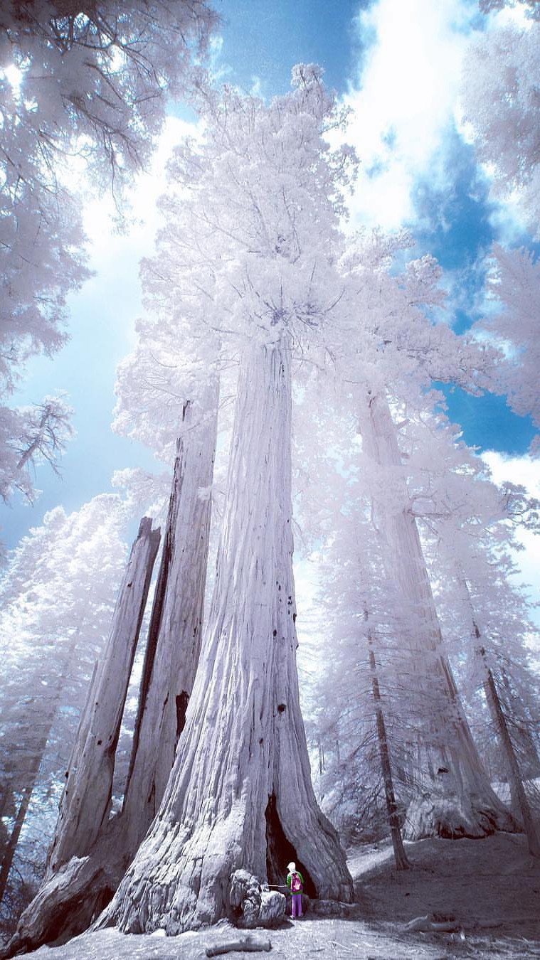 California Giant Tree iPhone Wallpaper