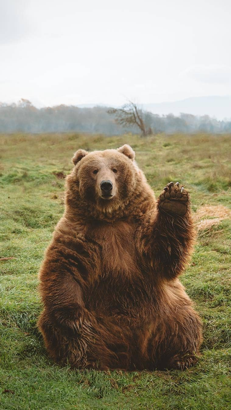 Funny Bear iPhone Wallpaper