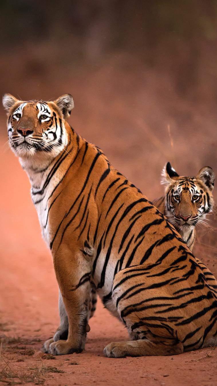 Tiger and Cub iPhone Wallpaper