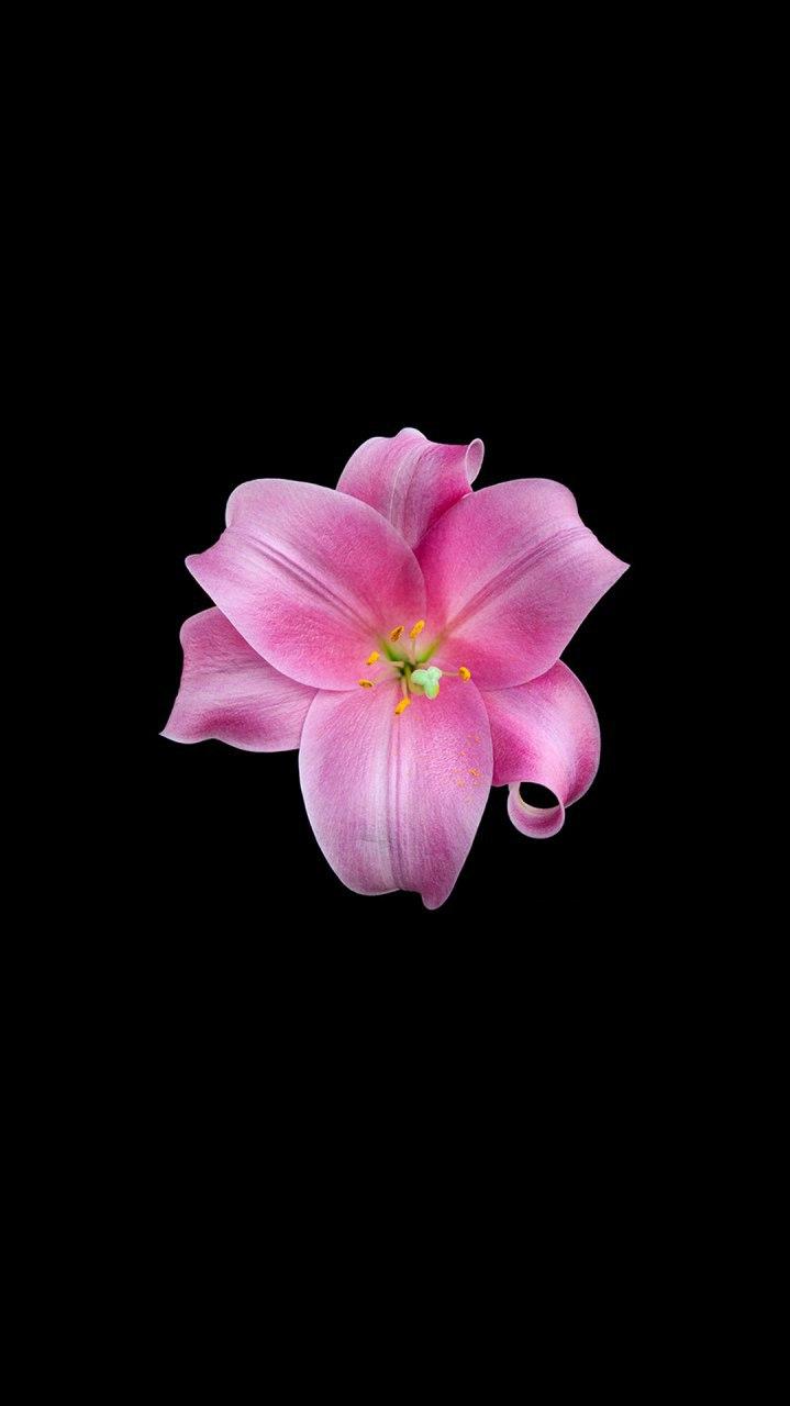Pink Flower Dark iPhone Wallpaper