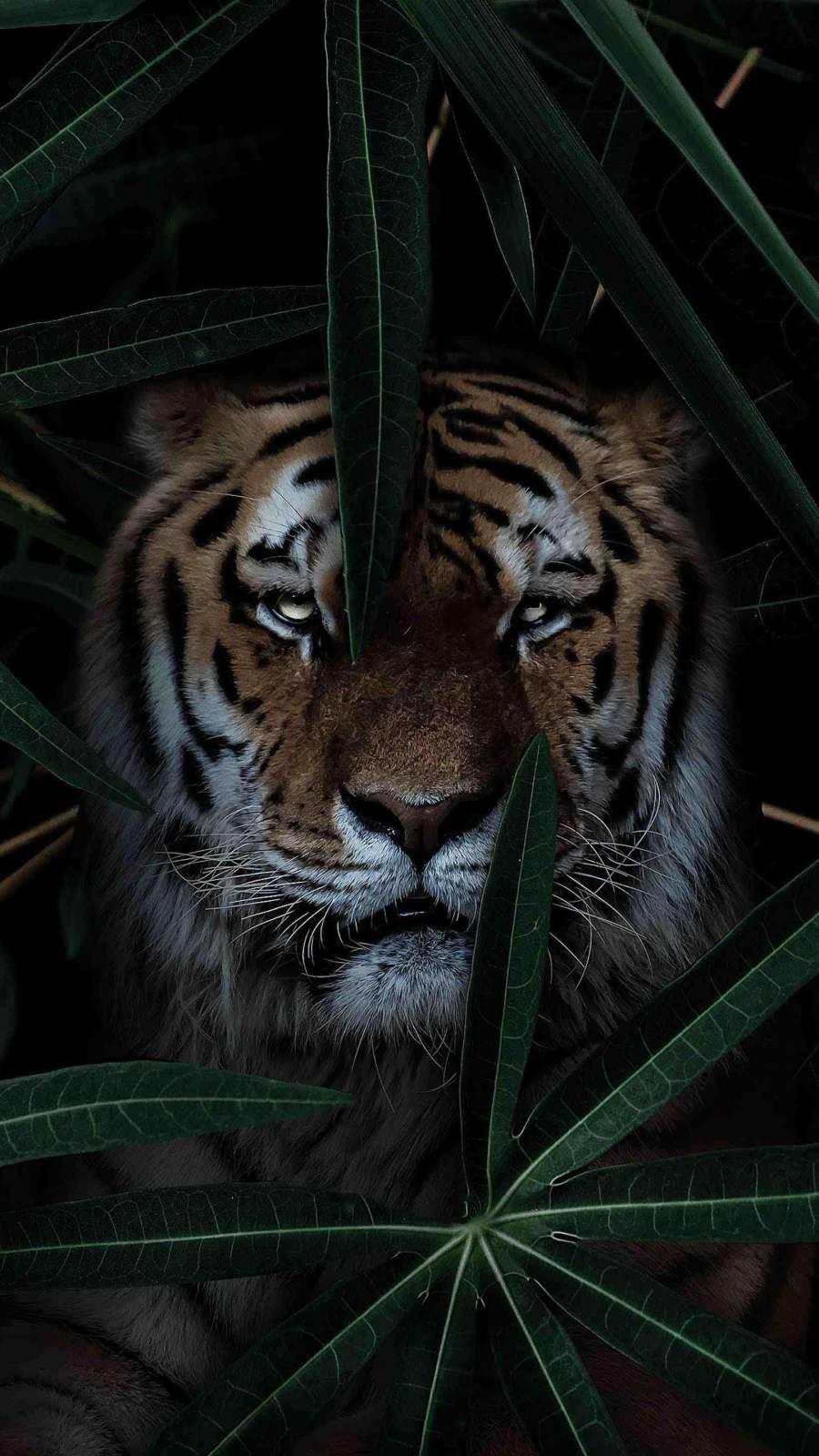 Wild Tiger iPhone Wallpaper