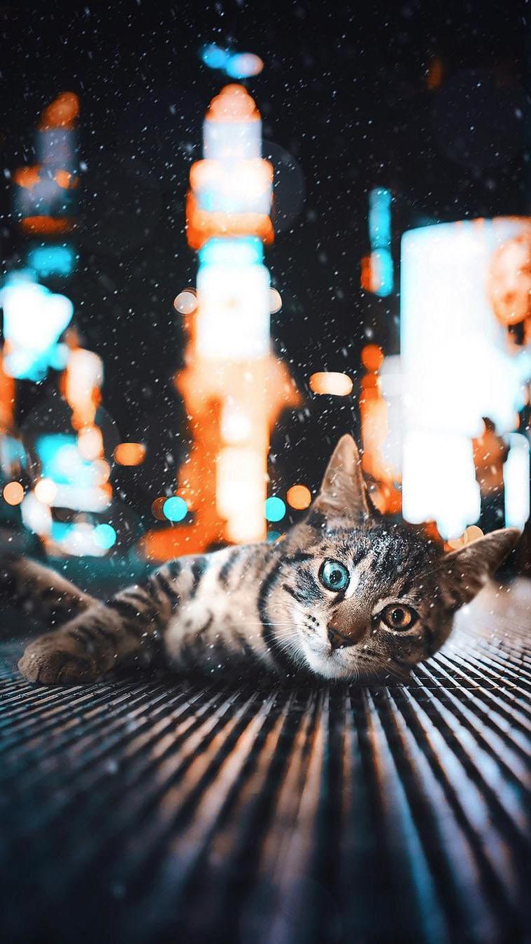 Heterochromia Cat iPhone Wallpaper