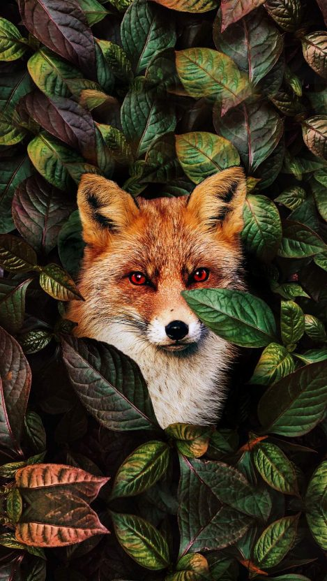 Fox iPhone Wallpaper