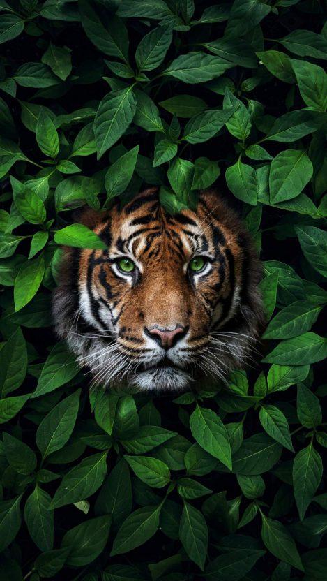 Green Eyes Tiger iPhone Wallpaper
