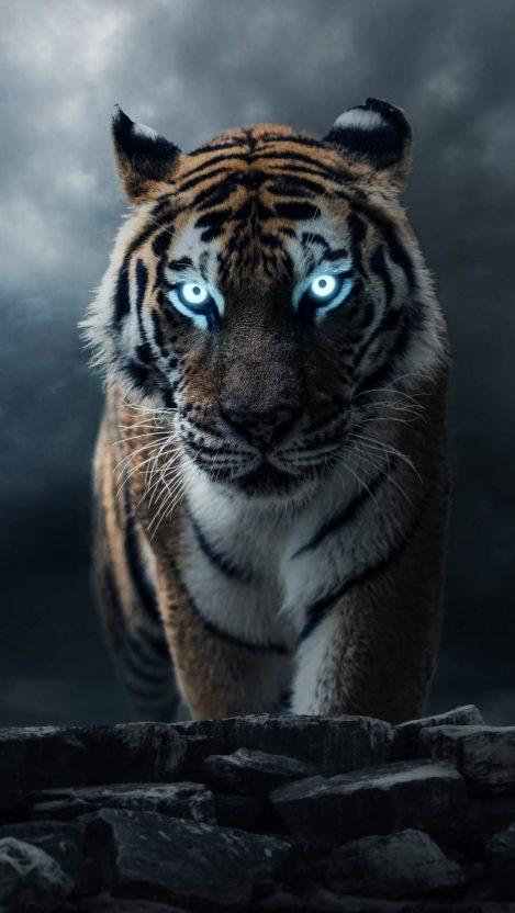 The Alpha Tiger iPhone Wallpaper