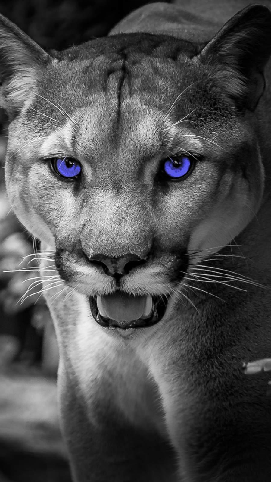 Cougar iPhone Wallpaper