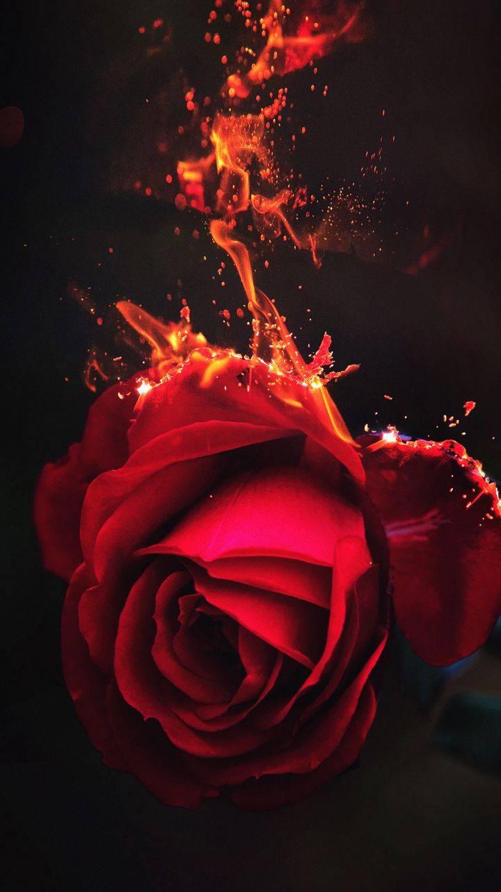 Burning Rose Flower