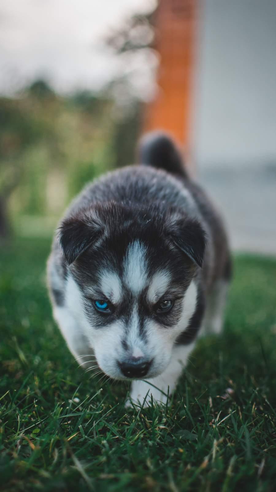 Husky Puppy iPhone Wallpaper