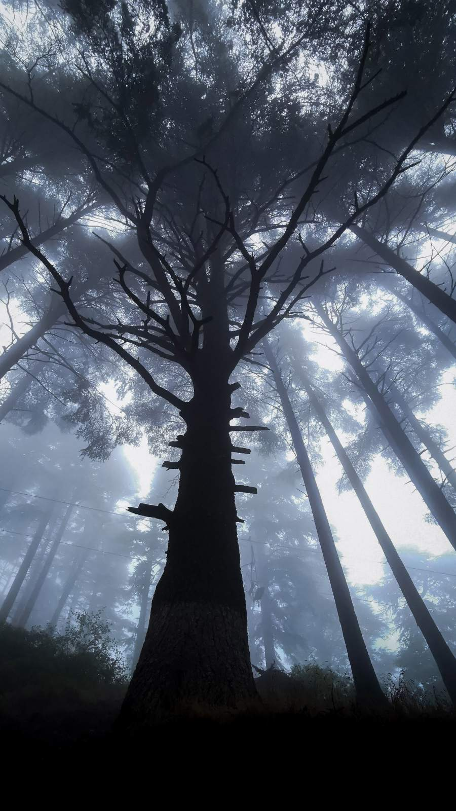 Giant Tree Forest