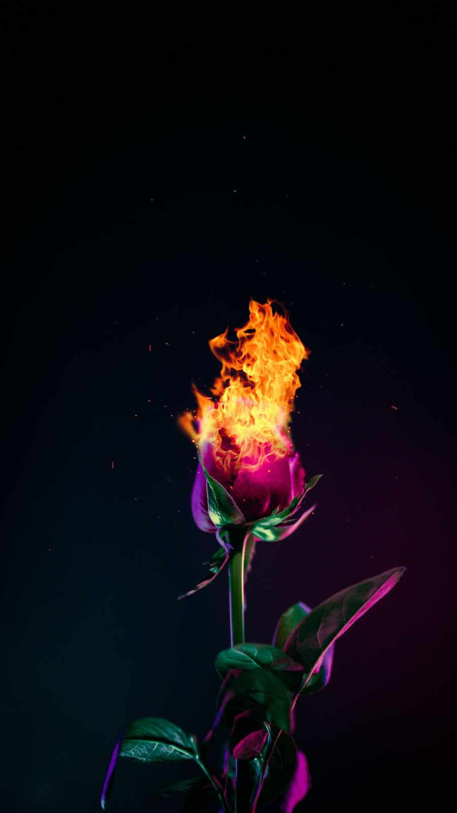 Burning Rose Wallpaper