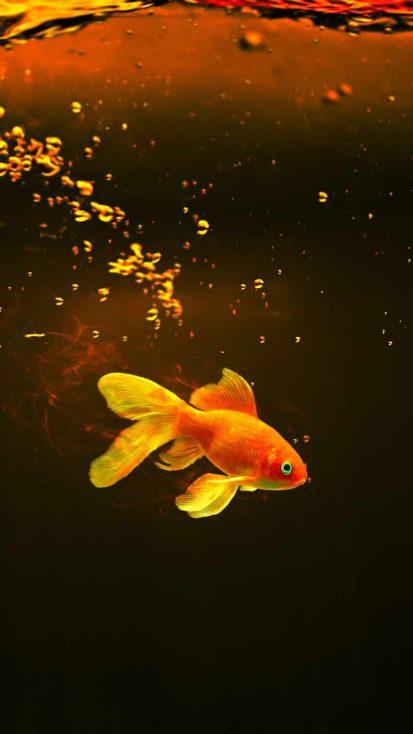Gold Fish iPhone Wallpaper